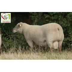 MOUTON VENDEEN - L'OES Mouton Vendéen est l'organisme de sélection et de promotion de la race Mouton Vendéen. Cette race ovine bouchère est originaire du bas Poitou et est sélectionnée depuis plus de 50 ans pour produire des agneaux de boucherie de qualité. Elle se caractérise par sa couleur de tête et de pattes gris souris et son carré de laine sur la tête. C'est une race mixte, autant appréciée pour ses qualités bouchères que maternelles. Sa facilité de conduite et son tempérament docile lui permettent de s'adapter à une multitudes de systèmes d'élevage.