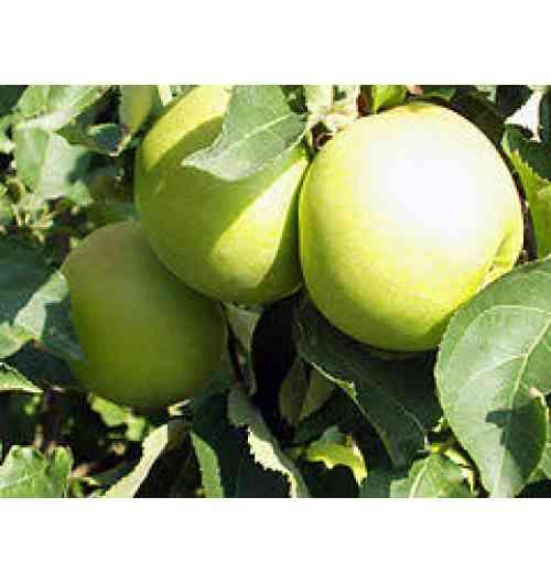 La Pomme des Alpes - Une pomme, c'est une pomme. Une Golden, c'est une Golden delicious. Mais la Golden, quand elle vient de chez nous, elle est différente.  Parce que chez nous, dans les Alpes de Haute-Durance, la Golden est une pomme d'altitude. Cultivée a plus de 500 mètres. Parce que chez nous, le climat est unique. 300 jours de soleil par an. Parce que notre pomme Golden est la seule à arborer le Label Rouge. Parce que chez nous, nous cultivons des pommes depuis le XVIIIe siècle de génération en génération. Et c'est cette histoire que nous voulons transmettre.