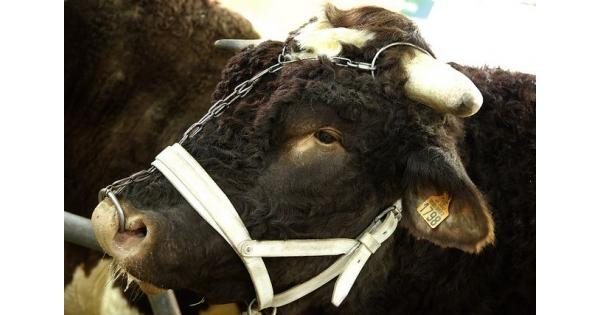 Le concours g n ral des animaux salon international de l 39 agriculture - Porte de versailles animaux ...